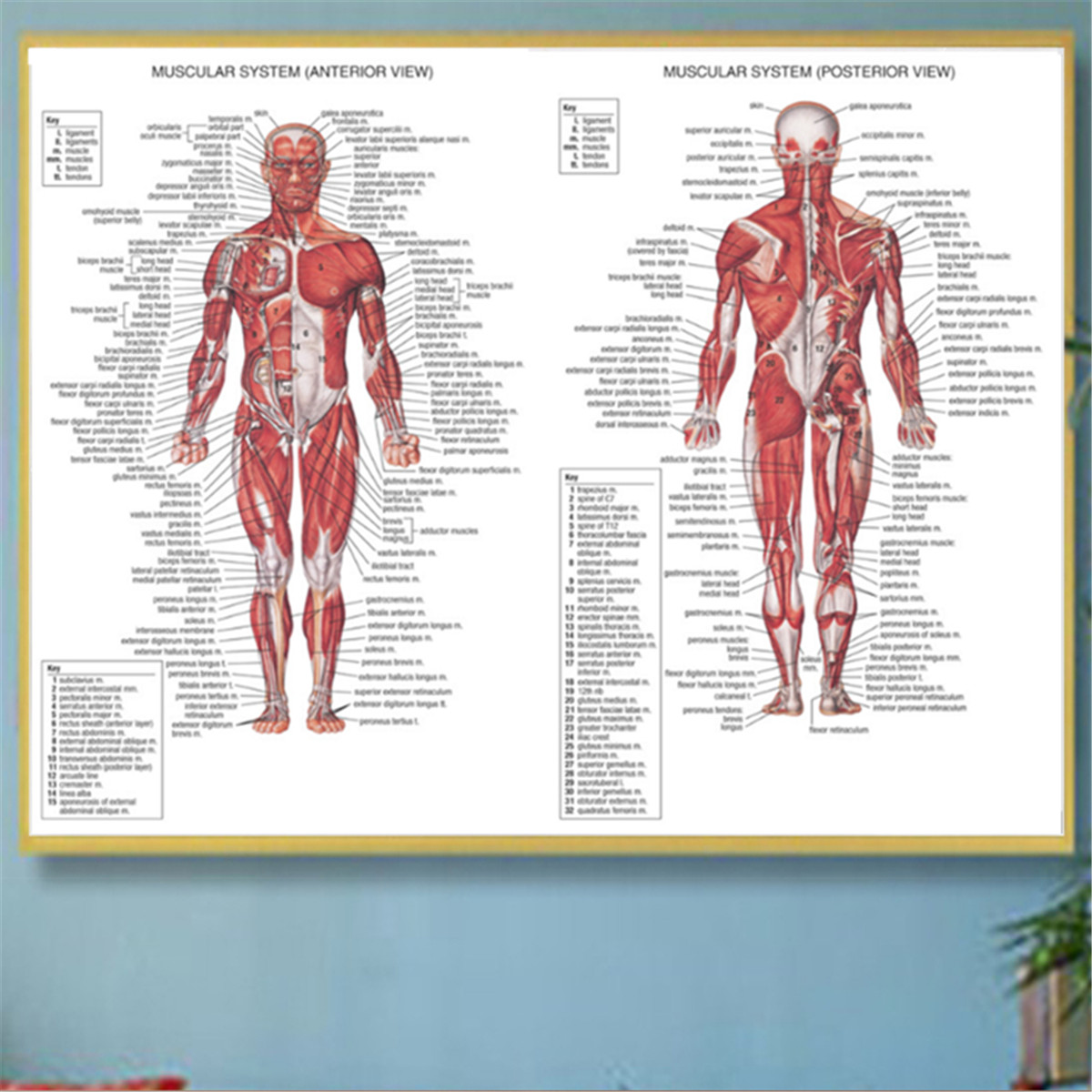 Muscle System Posters Silk Cloth Anatomy Chart Human Body
